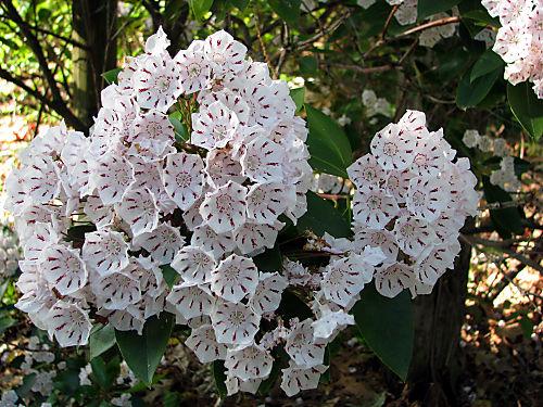 Laurel Flower