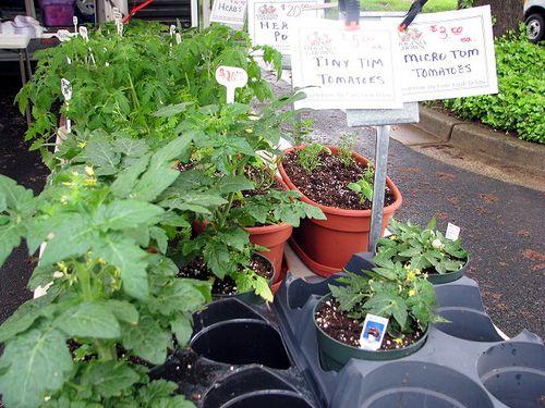 FM tomato plants