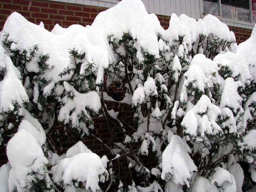 Snow bushes 2