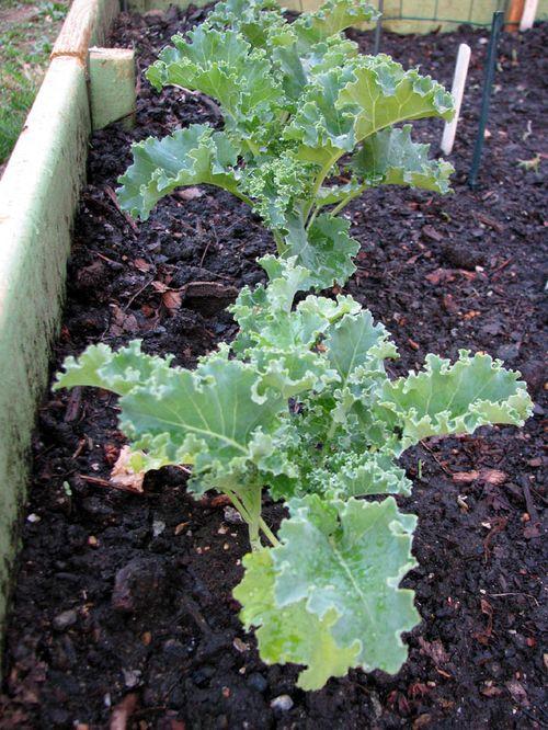 4-7 Garden kale