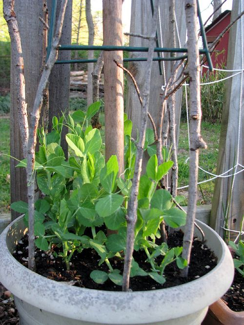4-7 Garden peas