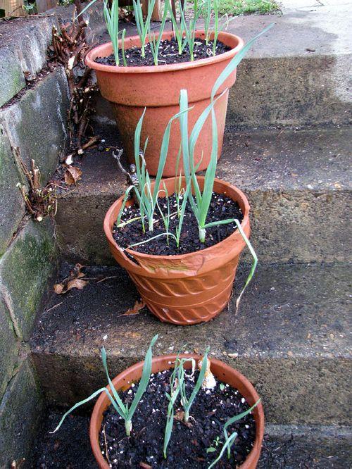 4-7 Garden leeks