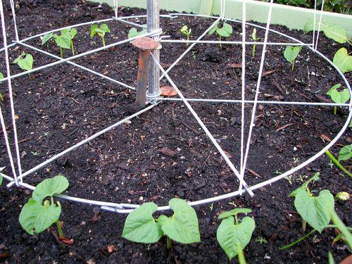 4-7 Garden pole beans