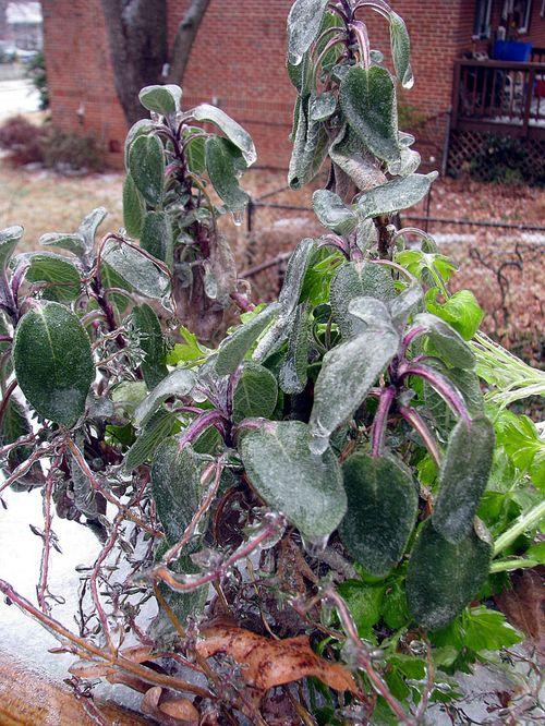 Ice on herbs