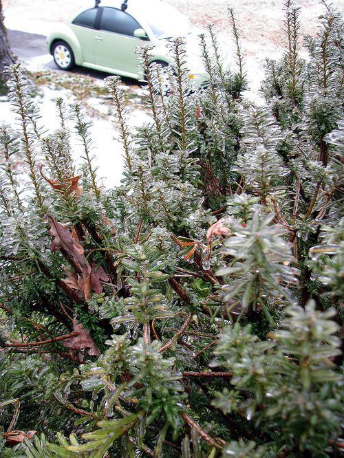 Ice on yew