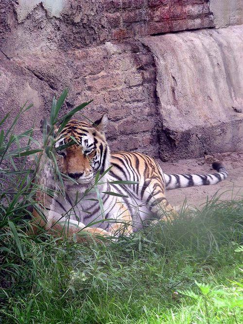 6-28 AK tiger
