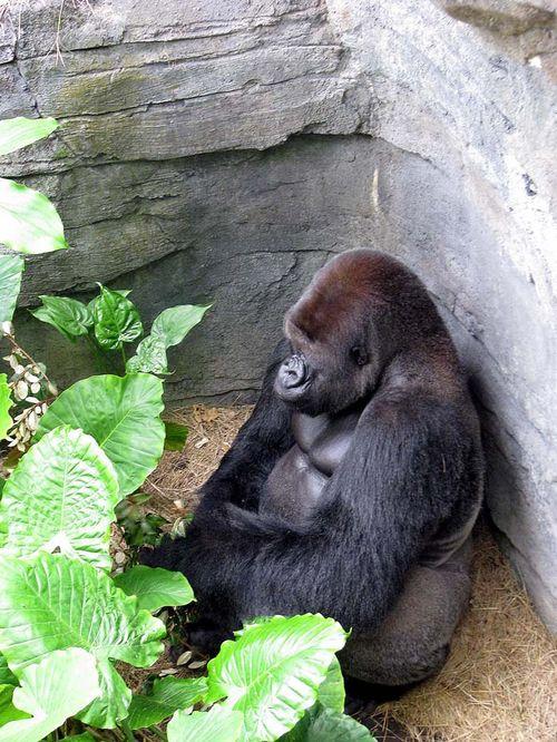 6-28 AK gorilla 2