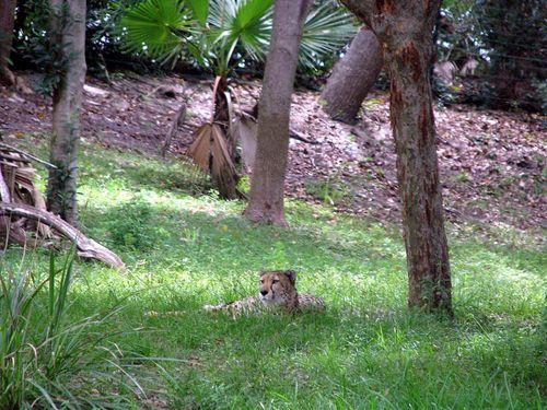 6-28 Safari cheetah