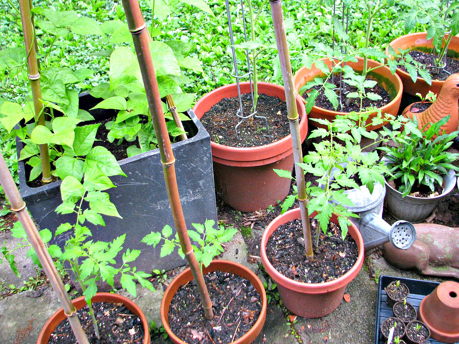 Growing bush beans in containers - I Am So Excited About These Plants Because I Have Never Grown Tomatoes From Seed Before The Pots In These Photos Are Only A Third Of Our Crop Of Tomatoes