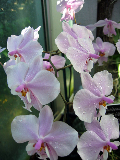 Dc_orchid_2