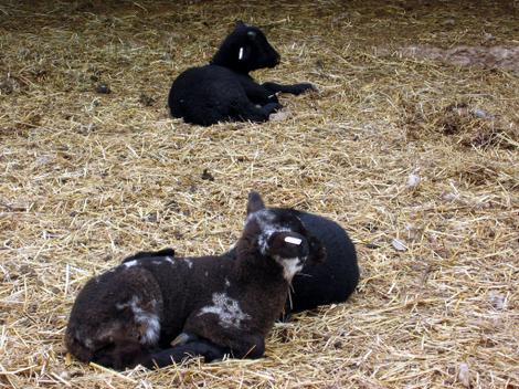 Mt_vernon_lambs