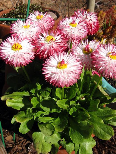 Ah_spring_daisies