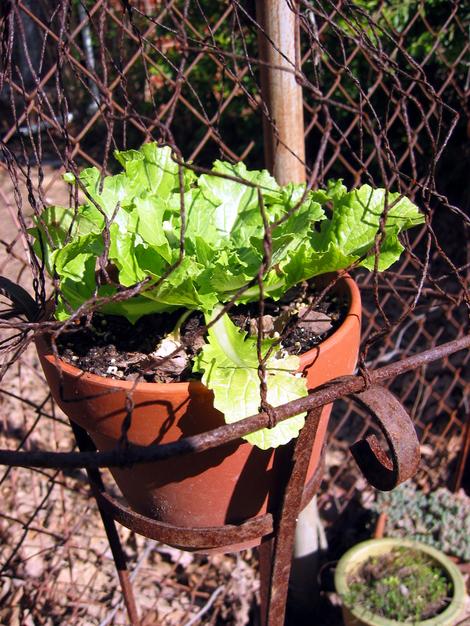Ah_spring_lettuce