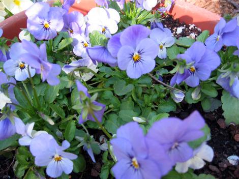 Ah_spring_violas